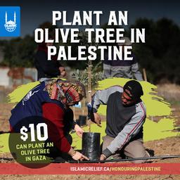 [900PS] Olive Trees in Palestine